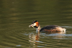 great crested grebe (simonrowlands) Tags: greatcrestedgrebe podicepscristatus lakes reservoirs canals coasts