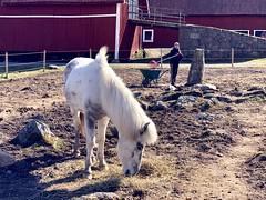 De jobbar med olika saker… (Patrick Strandberg) Tags: sweden östergötland bergagård mockning freyda freydafrånblixtorp icelandichorse islandshäst horse häst iphone iphonex