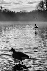 Goose, Rufford (Andy McDonald) Tags: trees england monochrome unitedkingdom birds blackwhite nottinghamshire rufford sky places clouds
