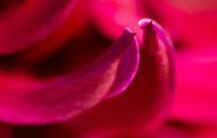 Permanent Carmine (Tashata) Tags: macro nature flower outdoor colors closeup magenta carmine pentax plant petals pentaxk01 smcpentaxdfamacro100mmf28wr