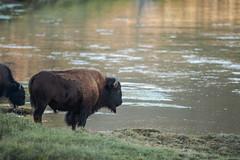 Bord de rivière (Samuel Raison) Tags: bison buffalo rivière river haydenvalley animal wildlife animals nature naturephotography yellowstone yellowstonenationalpark yellowstonewildlife wildlifephotography nikon nikon4600mmafsgvr