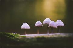 Fungi family (alowlandr) Tags: fungus mushroom closeup nature beautyinnature nopeople toadstool outdoors autumn fall forest natural food season fungi