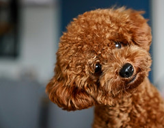 Poodle (Paul Tocatlian | Happy Planet) Tags: dog dogportrait browndog poodle puppy puppyeyes cute happyplanet asiafavorites