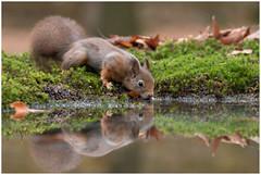 Red Squirrel - Eekhoorn (Sciurus vulgaris) ..... (Martha de Jong-Lantink) Tags: 2018 boshutclinge clinge eekhoorn gewoneeekhoorn redsquirrel rodeeekhoorn sciurusvulgaris stichtinghetzeeuwselandschap zeeland