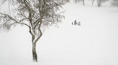 019Jan 08: Winter in City Park Pod zahradami (Johan Pipet 2M+ views) Tags: flickr winter zima sneh snow blizzard tree strom white fujavica dubravka bratislava dúbravka slovakia slovensko eu europe palo bartos bartoš canon g7x
