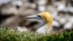 Peek-a-boo (Stefan Marks) Tags: animal australasiangannet bird depthoffield gannet grass head morusserrator nature outdoor aucklandwaitakere northisland newzealand