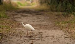Morning Hike (ap0013) Tags: ibis bird hike hiking nature animal wildlife birding white lakeland florida circleb whiteibis