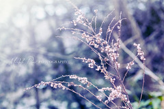 Soft Glow Stems (Chellebelle121) Tags: pink blue purple nature bokeh stem fluff weed