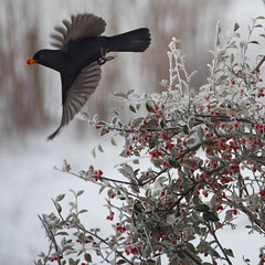 Winter meal (Valérie C) Tags: blackbird merle berry quincetree fly flying wings beak lunch winter snow frozen frost birds
