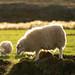 Icelandic Sheep At Sunset