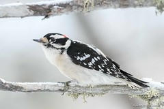 Pic mineur- Downy Woodpecker - Picoides Pubescens (Gilbert Rolland) Tags: gilbertrolland downywoodpecker picmineur