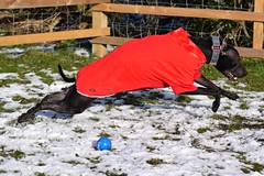SMithy (22) (AlmostHome_Dog) Tags: almost home dog rescue north wales whippet staffie staffordshire bull terrrier