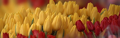 Yellow & Red Tulips (Scott 97006) Tags: flowers tulips colors yellow red pretty bokeh beauty gorgeous