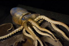 Blaschka Glass Model - Natural History Museum London (nickstone333) Tags: naturalhistorymuseum london museum glass model blashka octopus muskyoctopus atxm100afprod tokinaaf100mmf28macro nikon nikond7100 d7100