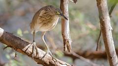 008.4 Ralreiger (dirkvanmourik) Tags: ardeolaralloides aves bird crabierchevelu lasomone oiseaux ralreiger réservedebandia senegal squaccoheron vogel