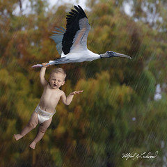 Special Delivery_20A3119 (Alfred J. Lockwood Photography) Tags: alfredjlockwood nature composite photomanipulation woodstork birdsinflight baby specialdelivery wakodahatcheewetlands florida rain humor valentinesday