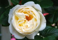 Lässt mich doch mein Jesu nicht (amras_de) Tags: rose rosen ruža rosa ruže rozo roos arrosa ruusut rós rózsa rože rozes rozen roser róza trandafir vrtnica rossläktet gül blüte blume flor cvijet kvet blomst flower floro õis lore kukka fleur bláth virág blóm fiore flos žiedas zieds bloem blome kwiat floare ciuri flouer cvet blomma çiçek