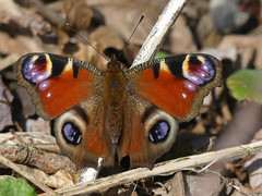 Peacock Butterfly (ukstormchaser (A.k.a The Bug Whisperer)) Tags: peacock butterfly butterflies animal animals wildlife milton keynes little linford sunlight sunshine bucks buckinghamshire woods woodland basking afternoon february insect insects