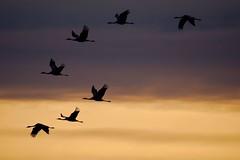 Grues cendrées (Marc ALMECIJA) Tags: oiseau oiseaux bird vogel aves panasonic g9 outdoor outside nature natur wildlife ciel sky sunrise