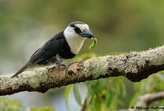 White-necked Puffbird (Notharchus hyperrhynchus) - Yasuni, EC (bcbirdergirl) Tags: whiteneckedpuffbird yasuninationalpark ecuador amazon amazonia notharchushyperrhynchus bucconidae eatingagrub grub caterpillar