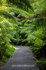 Ferns (Anna Calvert Photography) Tags: australia canberra fauna flora flowers landscape macro nature outdoors scenery flower plant canberrabotanicalgardens australiannative ferns