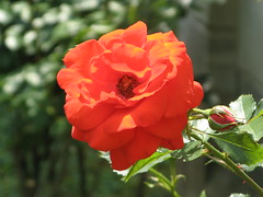 Mein Heiland hat mich frei gemacht (amras_de) Tags: rose rosen ruža rosa ruže rozo roos arrosa ruusut rós rózsa rože rozes rozen roser róza trandafir vrtnica rossläktet gül blüte blume flor cvijet kvet blomst flower floro õis lore kukka fleur bláth virág blóm fiore flos žiedas zieds bloem blome kwiat floare ciuri flouer cvet blomma çiçek