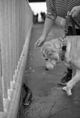 New (Dead) Friend (PositiveAboutNegatives) Tags: nikon slr vintagecamera nikonf eyelevel plainprism 40mm cosinavoigtlander cv40mmf2ultron film analog bw blackandwhitefilm foma fomapan fomapan200 rodinal dog fish lab labrador yellowlab