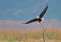At the marsh (knobby6) Tags: baldeagle baldy raptor birdofprey california nikondd5 600mm 14tc