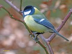 Carbonero común (Parus major) (7) (eb3alfmiguel) Tags: pájaros passeriformes insectívoros paridae carbonero común parus major
