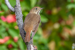Hermit Thrush (Joe Branco) Tags: green thrush photoshop lightroom canada ontario branco joe grass macro birds bird nature wildlifephotographer joebrancophotographer nikond850 nikon hermitthrush