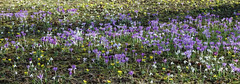 Colour (hedgehoggarden1) Tags: crocuses flowers flora plants nature sonycybershot sony spring colour purple lilac