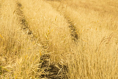 Traces (Walter Quirtmair) Tags: ifttt 500px traces track field corn grass fall autumn yellow japan quirtmair path