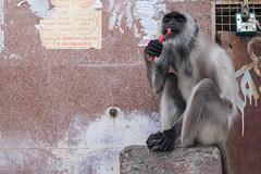 A Monkey's Morning Ablutions (Geraint Rowland Photography) Tags: monkey wildmonkey animal animalbehaviour amonkeycleaninghisteethontheghatsofpushkarinrajasthan india ablutions morningablutions cleaningteeth feeding funny comedyshot travel portrait animalportrait moneysofindia wwwgeraintrowlandcouk
