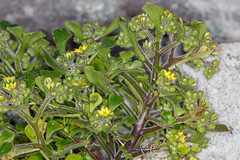 _MG_2334  Aichryson roseum Gongarillo rosado
