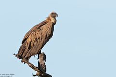 White-backed Vulture, Gyps africanus (Kevin B Agar) Tags: birds gypsafricanus southafrica whitebackedvulture