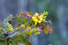 Sweeney Ridge. Pacifica, CA. (j1985w) Tags: california pacifica sweeneyridge plants flowers berries
