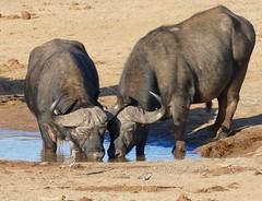 African Buffaloes (Syncerus caffer) old bulls drinking ... (berniedup) Tags: africanbuffalo synceruscaffer addo buffalo taxonomy:binomial=synceruscaffer crownedlapwing vanelluscoronatus