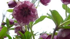Au Jardin des plantes - Hellébores (jeanlouisallix) Tags: jardin des plantes rouen seine maritime haute normandie france parc park fleurs flowers nature macro hellébores helléborus roses de noël