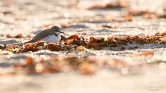 Lucioles (stephanegachet) Tags: france bretagne breizh bzh morbihan ploemeur sea seabird bird oiseau mer gravelot nature animal wildlife stephanegachet gachet