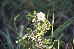 Senecio vulgaris (esta_ahi) Tags: lagranada penedès barcelona spain españa испания senecio vulgaris seneciovulgaris compositae asteraceae flor flora flores silvestres vilanos