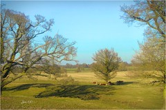 Early Spring in Middle England (Jan 130) Tags: jan130 spring midlandsengland earlyspring green cows cattle trees grass bluesky topazstudio ngc npc
