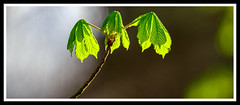New Growth (ianmiddleton1) Tags: spring panorama nature sunshine backlighting leaves