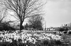 Daffodils in Flaxton (jhotopf) Tags: blancoynegro monochrome blackwhite noiretblanc hp5 ilford pmkpyro zeisssuperikonta uk gb northyorkshire flaxton 120 6x9