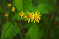 Желтые ромашки / Yellow daisies (Владимир-61) Tags: весна май природа цветы цветение желтыеромашки желтый зеленый spring may nature flower blossom yellowdaisy yellow green sony ilca68 minolta 28135