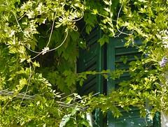 Hidden window...HWW (wilma HW61) Tags: takken branches filiali plant hww raam raamluiken shutters window fenêtre finestra šibenik prozor šalukatre biljka begroeiing vegetation hrvatska kroatië croatia croazia dalmacija dalmatië dalmatia europa europe outdoor wilmahw61 wilmawesterhoud windowwednesday groen green