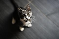 Kitten (K^Artist) Tags: cat kitten animal animals littleboy sonyalpha animalphotography kittenphotography eyes sharp mycameraneverlies