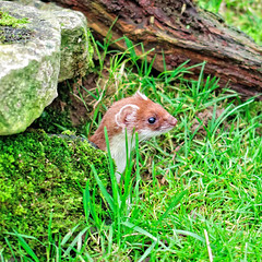 Weasel (Geoff Henson) Tags: wildlife zoo conservation animal surrey weasel mammal grass rock hideout burrow