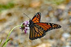 Monarch Butterfly! (Uhlenhorst) Tags: 2010 australia australien animals tiere reisen travel