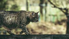 w a l k i n g  o n  t h e  f e n c e (Nils Hempel | Photography) Tags: cats animals pets kitten katzen nature naturesultans panorama widescreen