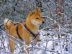 Pedro 090119-1a (martinritter1) Tags: shiba inu japanese dog hund tier